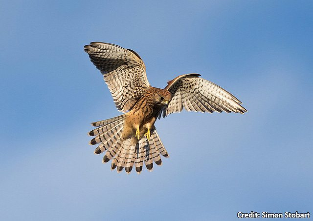 Kestrels Are Most Commonly Seen Hovering In Search Of Prey