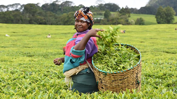 Janice Kangai plucking tea at Michimikuru Tea Company in Kenya.
