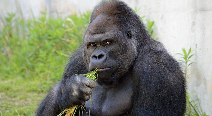Shabani the weirdly handsome gorilla