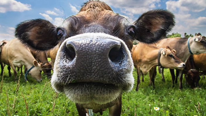 Close up of face of cow in a field