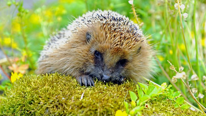 Hedgehog nibbling on some grass
