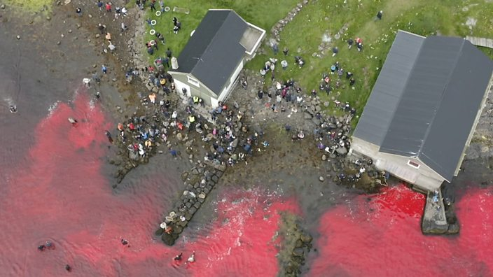 "Whale hunters taking part in ""the grind"" with red-blood water around them"