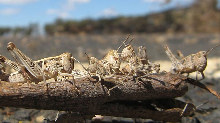 Critical mass: Why locusts swarm