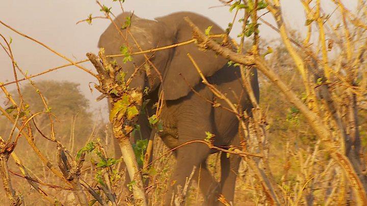 Why elephants are seeking refuge in Botswana
