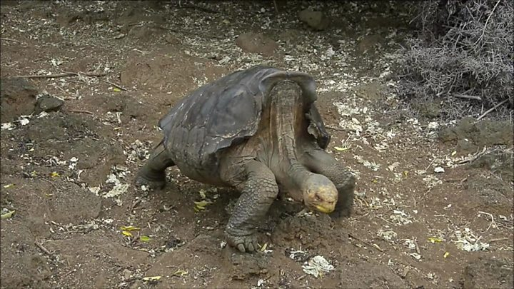 Tortoise with species-saving sex drive returns to Galápagos