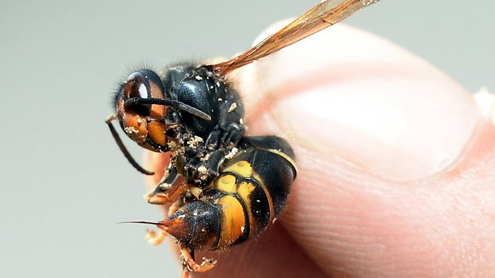 Invasive Asian Hornet spotted in Britain for first time, experts confirm