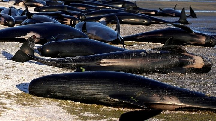 150 whales beached in Australia