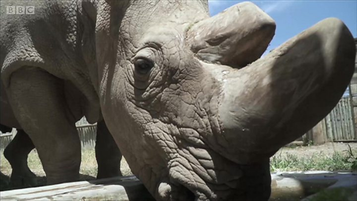УКенії помер останній усвіті самець північного білого носорога