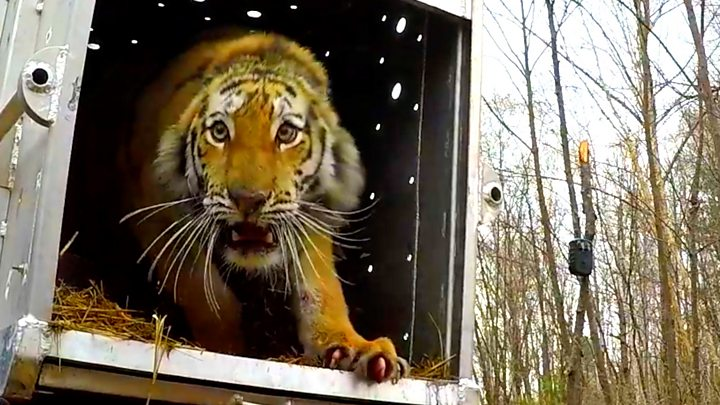The tiger 'gift' that insecure Polish rescuers thumbnail