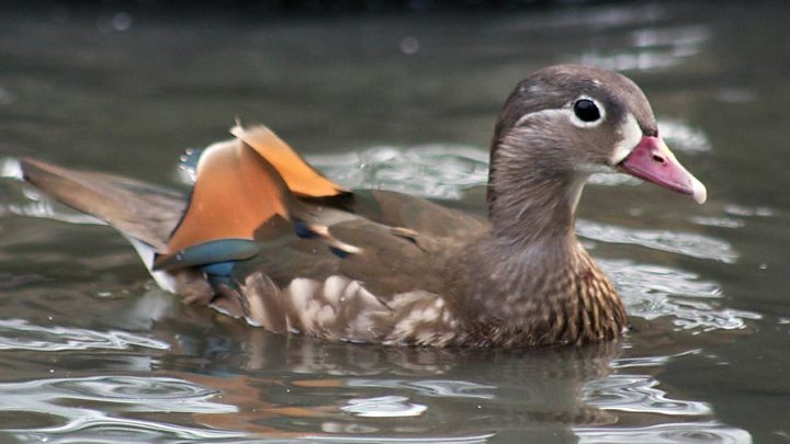 The duck that is changing sex