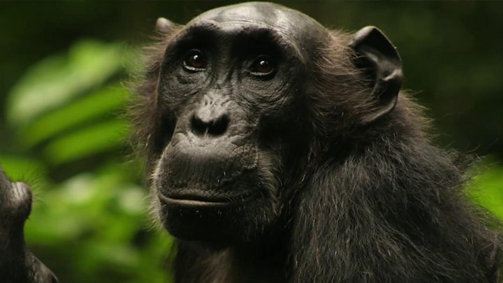 watched chimps change their hunting habits bbc news