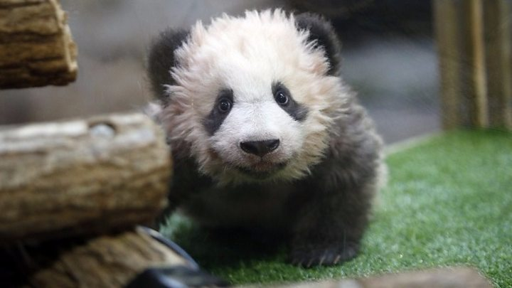 Baby panda makes first public appearance in France