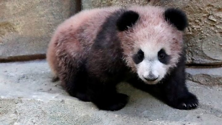France's 1st baby panda makes public debut