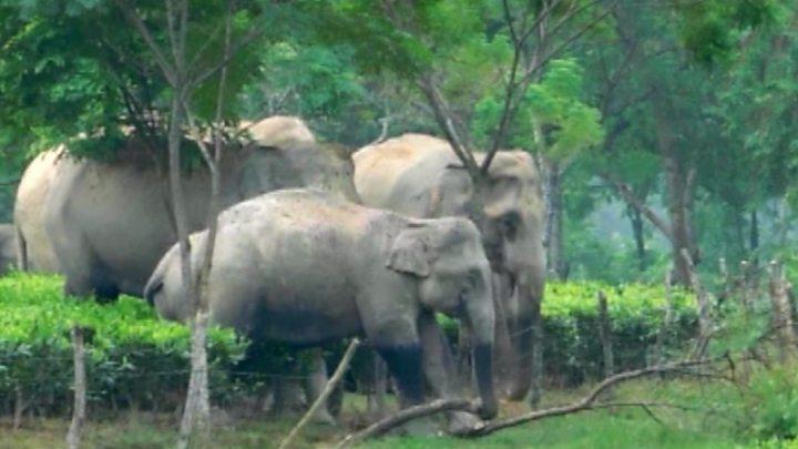 Elephants roam through tea gardens