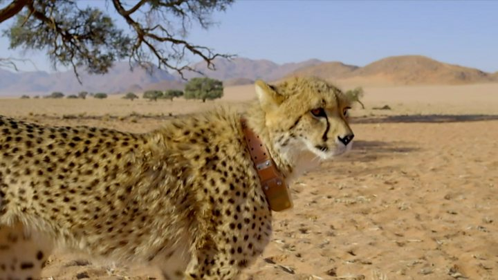 How to escape from a lion or cheetah - the science
