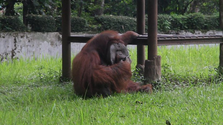 Orangutan in Indonesian zoo caught smoking a cigarette