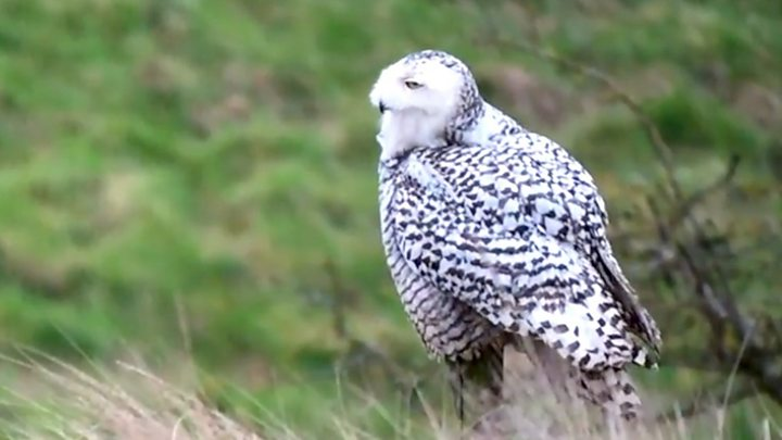 Norfolk Snowy Owl Attracts Harry Potter Fans And Birdwatchers Bbc News