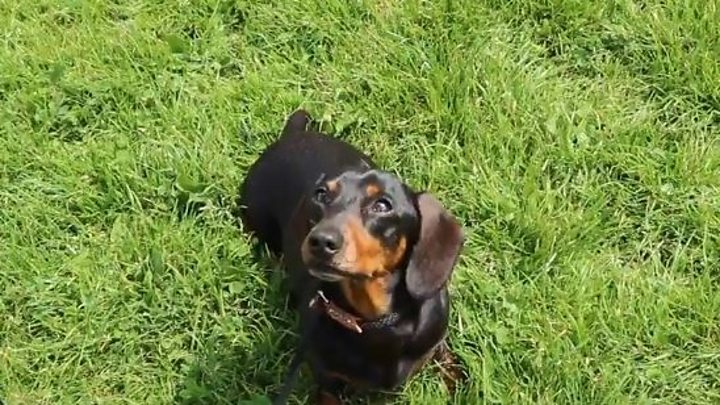Distended Cheshire dachshund deflated by vets