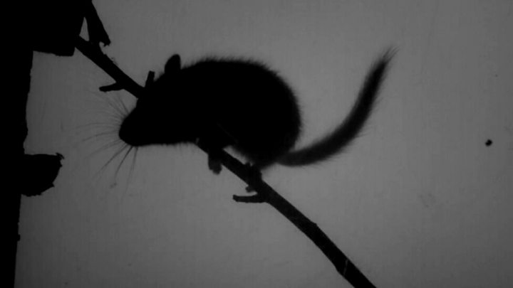 How a dormouse uses its whiskers