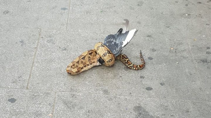 Python spotted attacking pigeon on east London high street
