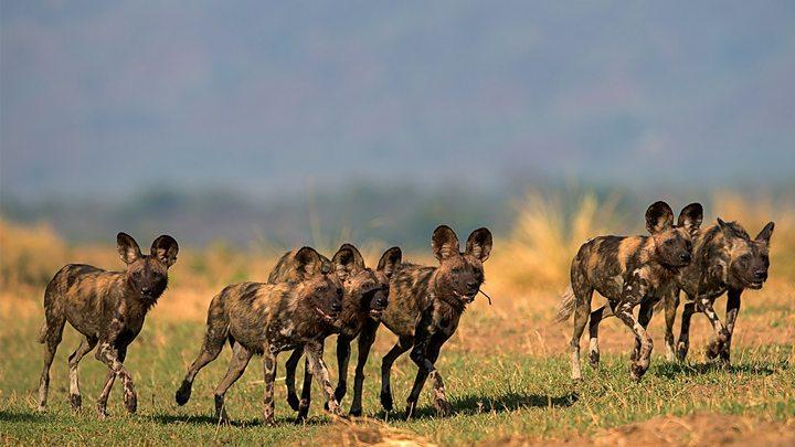 The 'painted wolves' of Zimbabwe