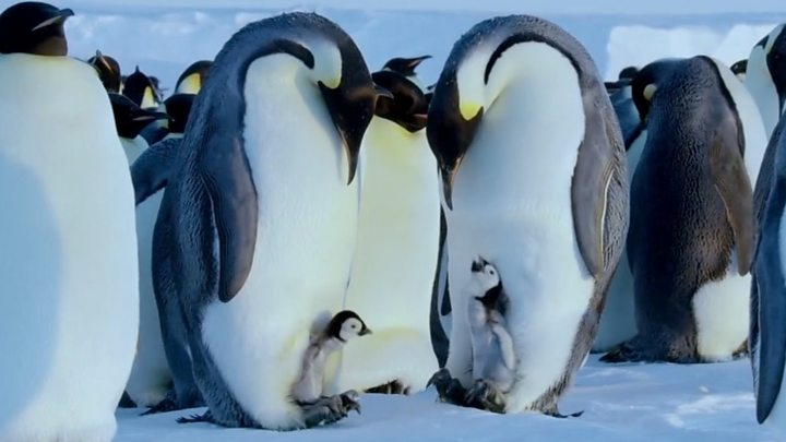 Dynasties Attenborough Would Have Rescued Penguins Bbc News
