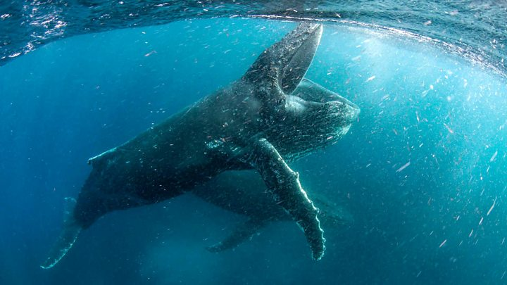 Humpback whale song changes every few years