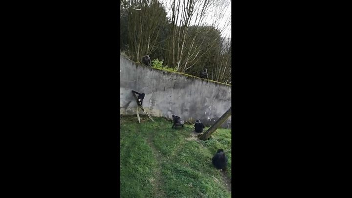 Chimps At Belfast Zoo Escape Enclosure Using Ladder They Made Themselves