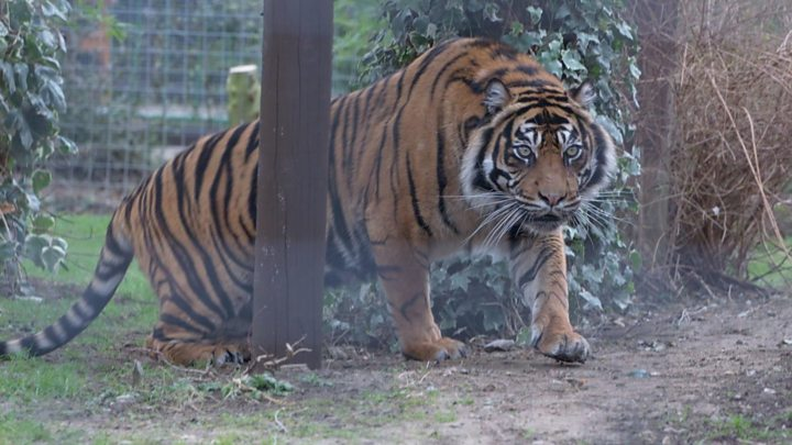 'Tiger Zinda Hai': India's tiger population doubles since 2014