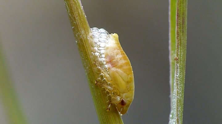 Have you ever seen a spittlebug?