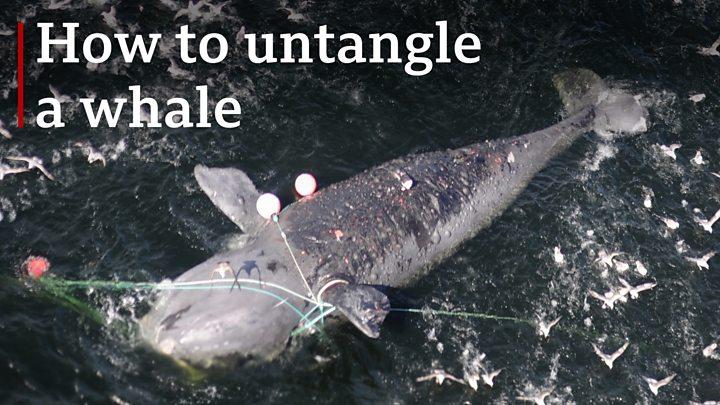 How to untangle a 70-tonne whale