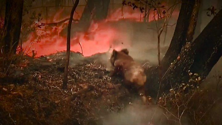 オーストラリア 山 火事 コアラ