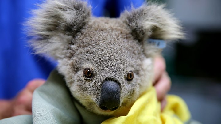 Why Australia probably doesn't need more koala mittens