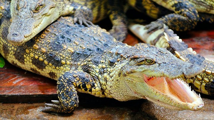 Int'l team wins Ig Nobel for showing helium raises alligators' pitch