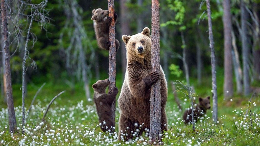 Bear in the forest with cubs