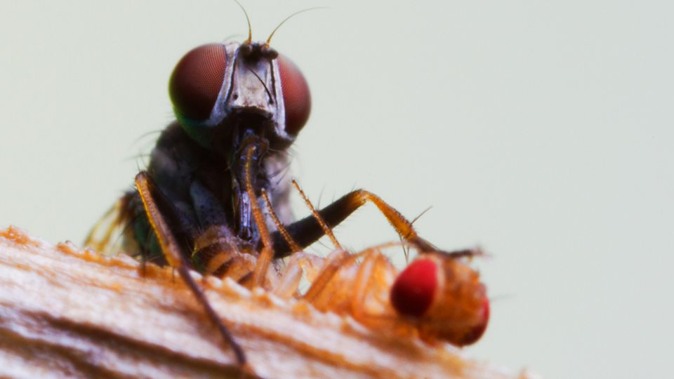 How killer flies have the fastest vision of any animal