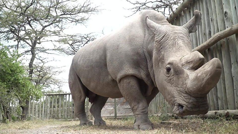 Así era Sudán, el último rinoceronte blanco del norte macho del mundo que murió en Kenia