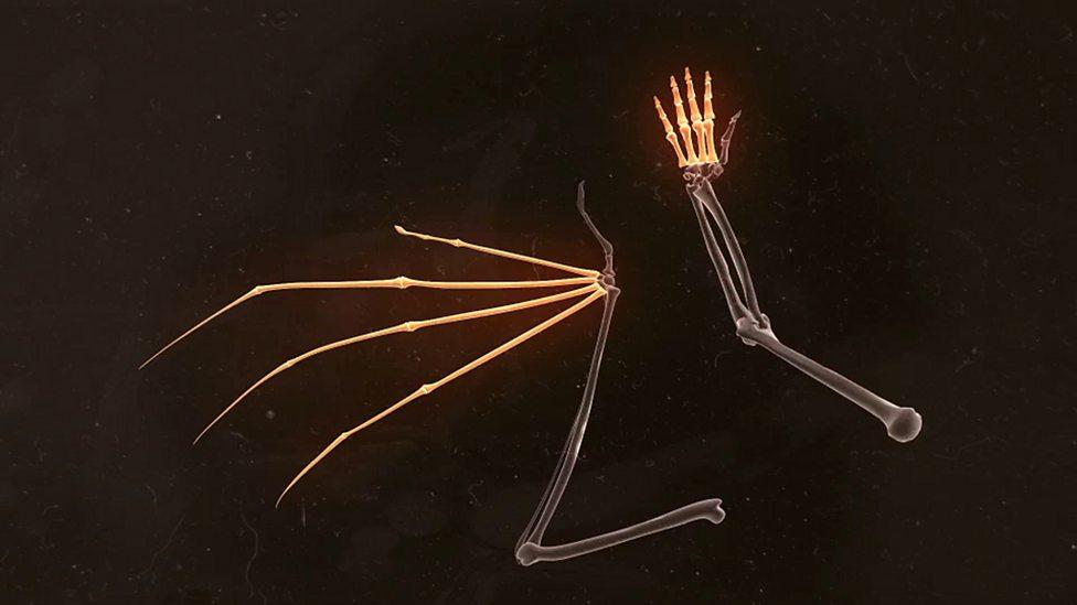 Bbc Four Comparing A Human And Bat Hand Secrets Of Bones Into