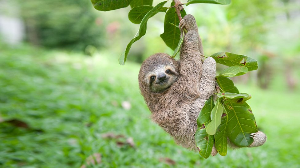 bbc one newbie the sloth hanging from a tree nature s miracle