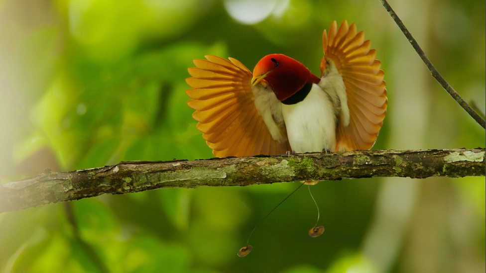 Bbc Two Attenboroughs Paradise Birds Meet The Birds Of Paradise