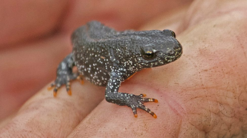 This Great Crested Newt Is A Juvenile Born Year
