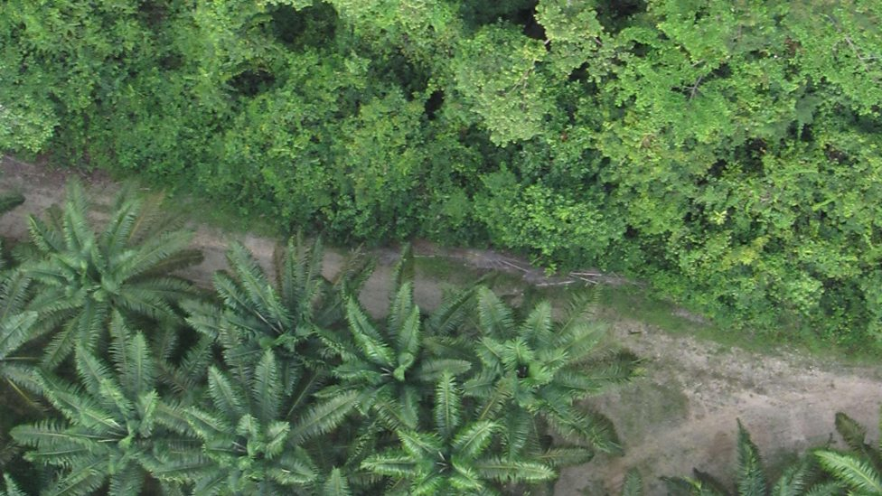 Oil Palm Plantation Taken From Conservation Drone
