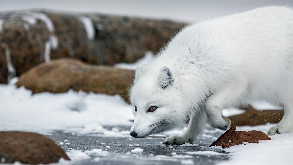 Arctic Fox Natural Selection