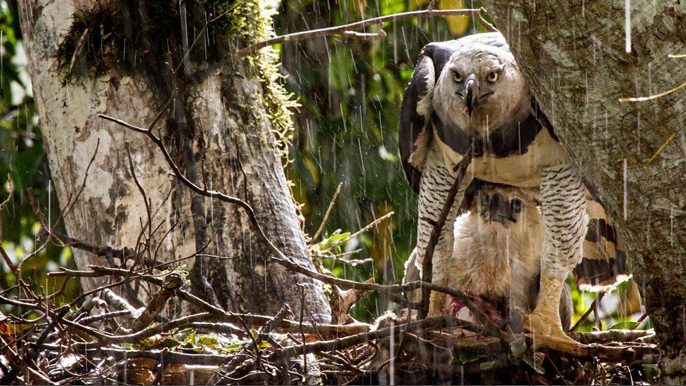 Harpy eagle hunting monkey - photo#3