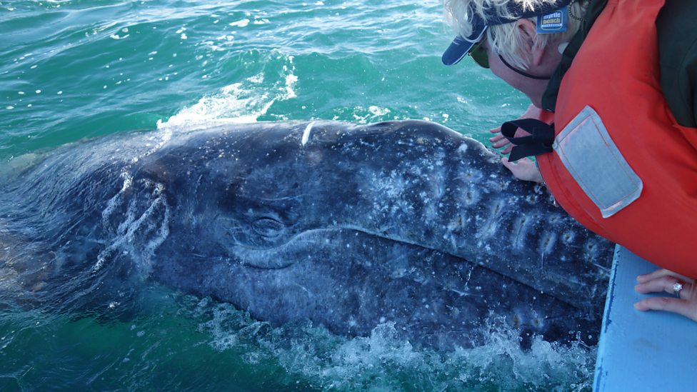 bbc fi roberts stroking gray whale calf the friendly gray whales
