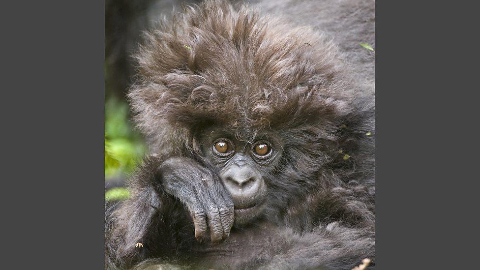 Bbc One A Baby Mountain Gorilla Has A Bad Hair Day Animal