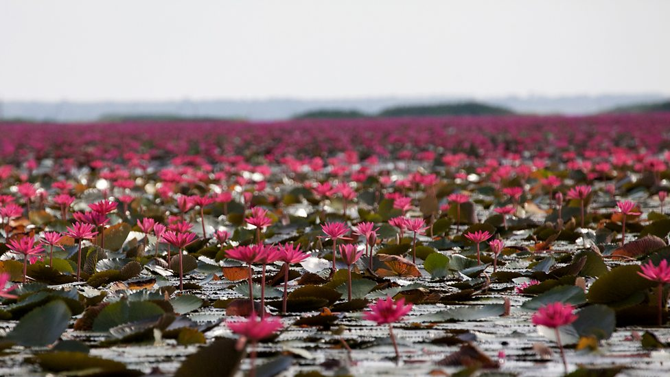 Bbc Two Lotus Flowers Thailand Earths Tropical Paradise The