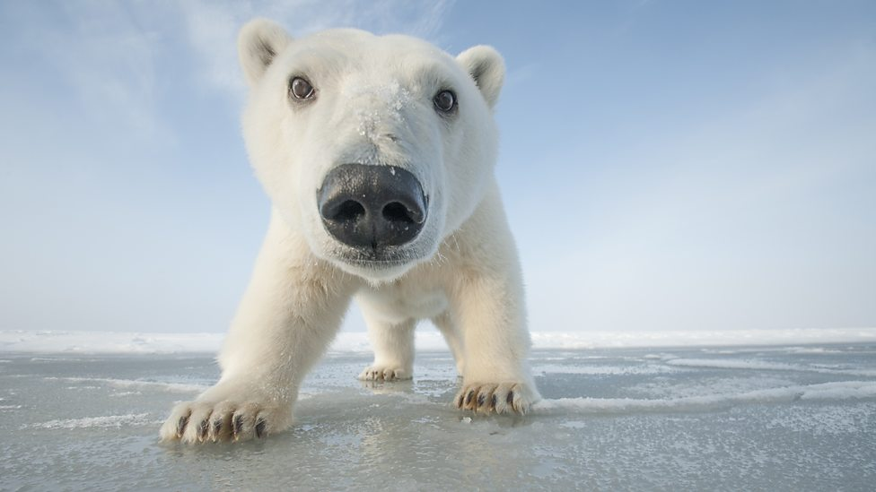 bbc one curious young polar bear approaches the camera life in