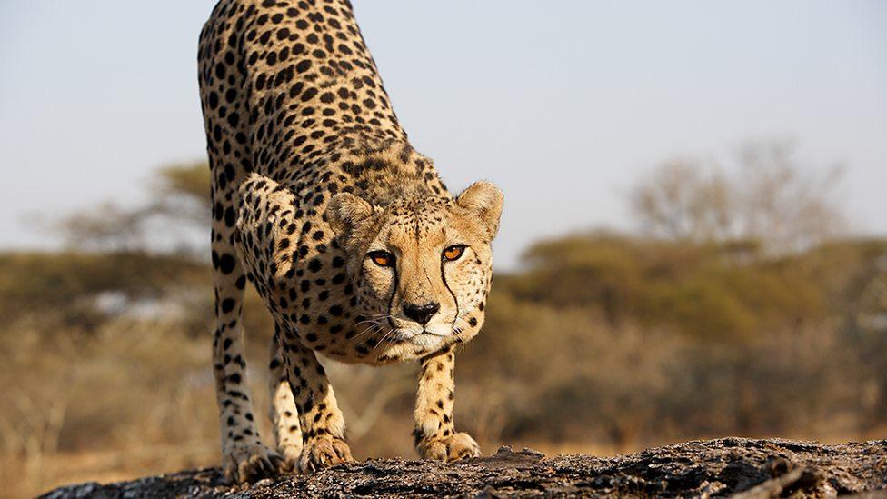 bbc two the mother cheetah natural world 2016 2017 cheetahs