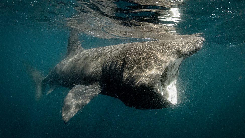 bbc two basking shark wild ireland the edge of the world